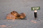Obedient sea lion pup