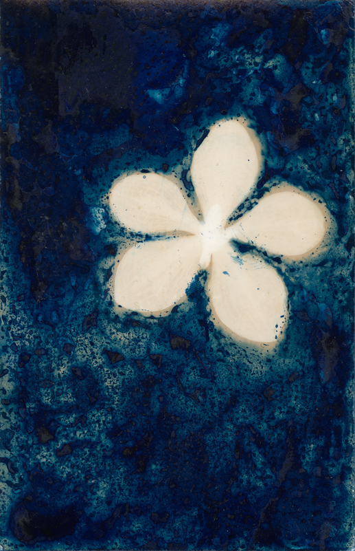 Orchid.  Lumen Print with Cyanotype from the Series, In My Courtyard.  ag_0000_5232  Color Rights Managed Image Copyright © 2020 Ann Giordano All Rights Reserved