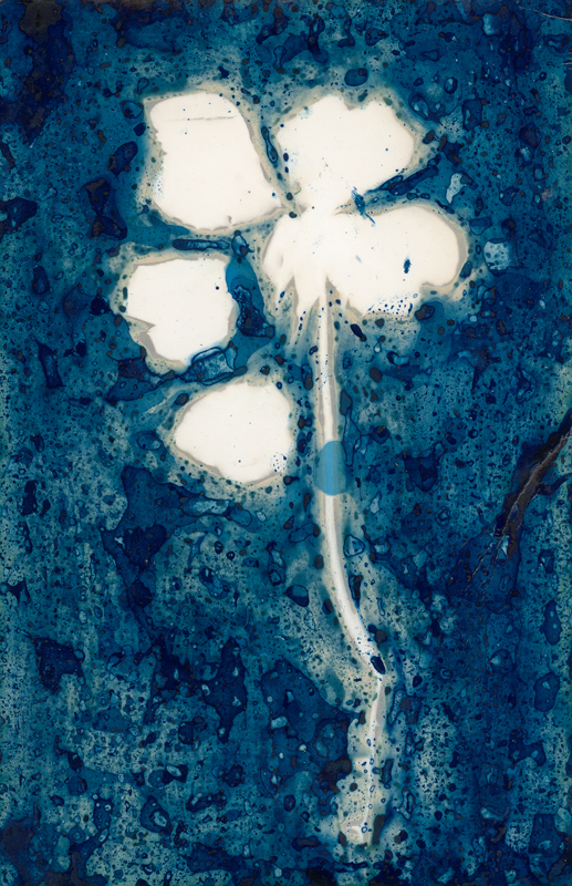 Rose.  Lumen Print with Cyanotype from the Series, In My Courtyard.  ag_0000_5245 Color Rights Managed Image Copyright © 2020 Ann Giordano All Rights Reserved