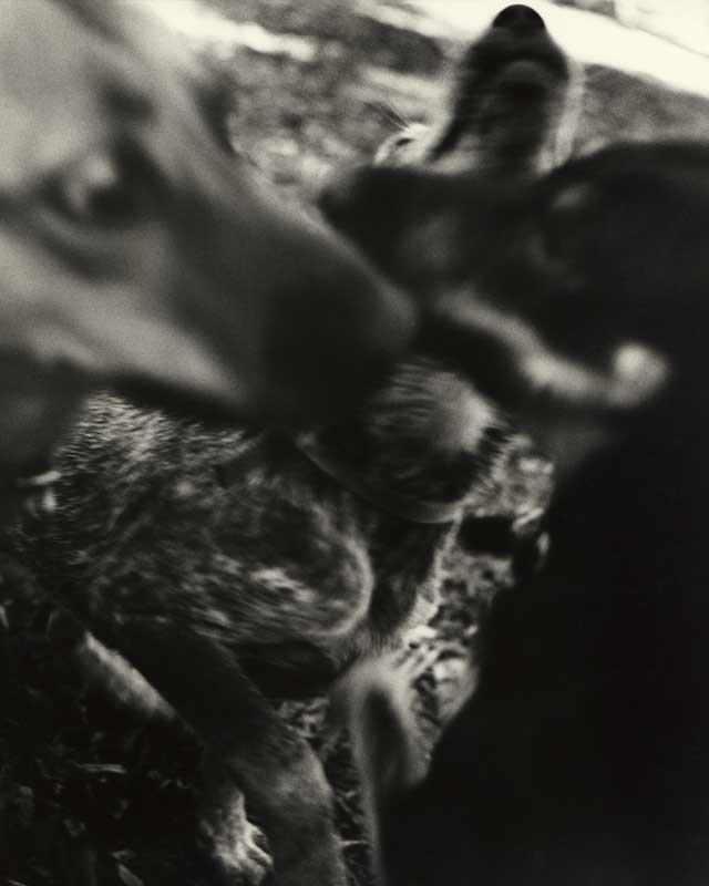 Bark No. 3 Communication, from the series, BARK.  Three Dogs. ag_0000_1003 BW Rights Managed Image Copyright © 1993 Ann Giordano All Rights Reserved