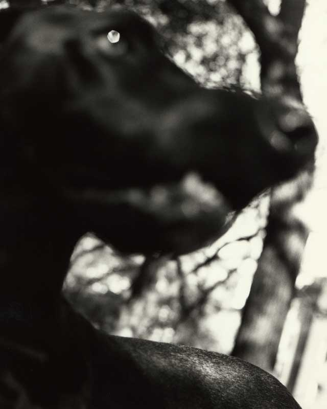 Bark No. 5 Dignity, from the series, BARK.  Close up of Labrador Retriever dog.  ag_0000_1005 BW Rights Managed Image Copyright © 1993 Ann Giordano All Rights Reserved