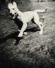 Bark No. 6 Pleasure, from the series, BARK.  White dog running.  ag_0000_1006 BW Rights Managed Image Copyright © 2001 Ann Giordano All Rights Reserved
