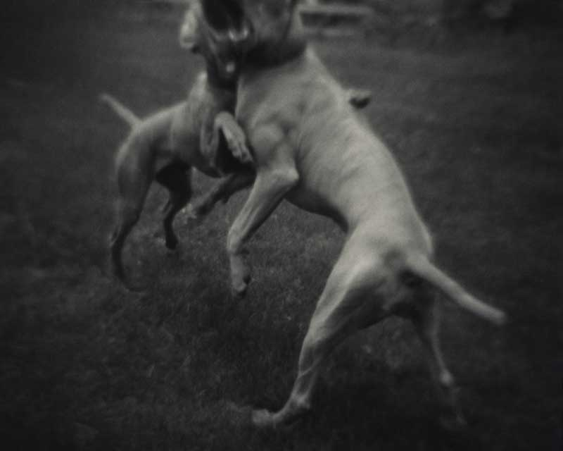 Bark No. 11 Exchange, from the series, BARK.  Two Weimaraner dogs.  ag_0000_1011 BW Rights Managed Image Copyright © 2003 Ann Giordano All Rights Reserved