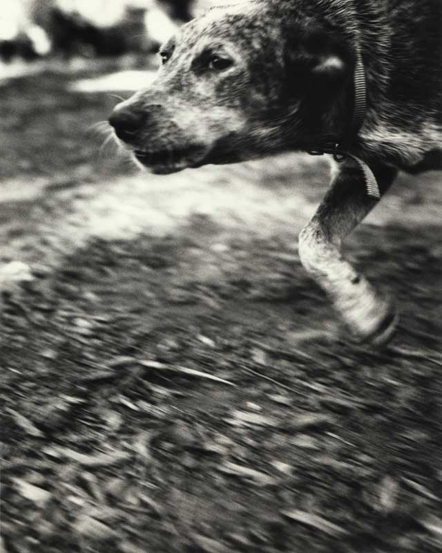 Bark No. 21 Preservation, from the series, BARK.  Dog running.  ag_0000_1021 BW Rights Managed Image Copyright © 1994 Ann Giordano All Rights Reserved