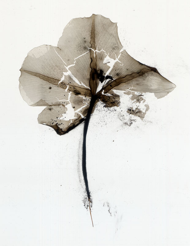 Moonflower No. 15  Photogram from the Series, In My Courtyard.  ag_0000_3136 Color Rights Managed Image Copyright © 2009 Ann Giordano All Rights Reserved