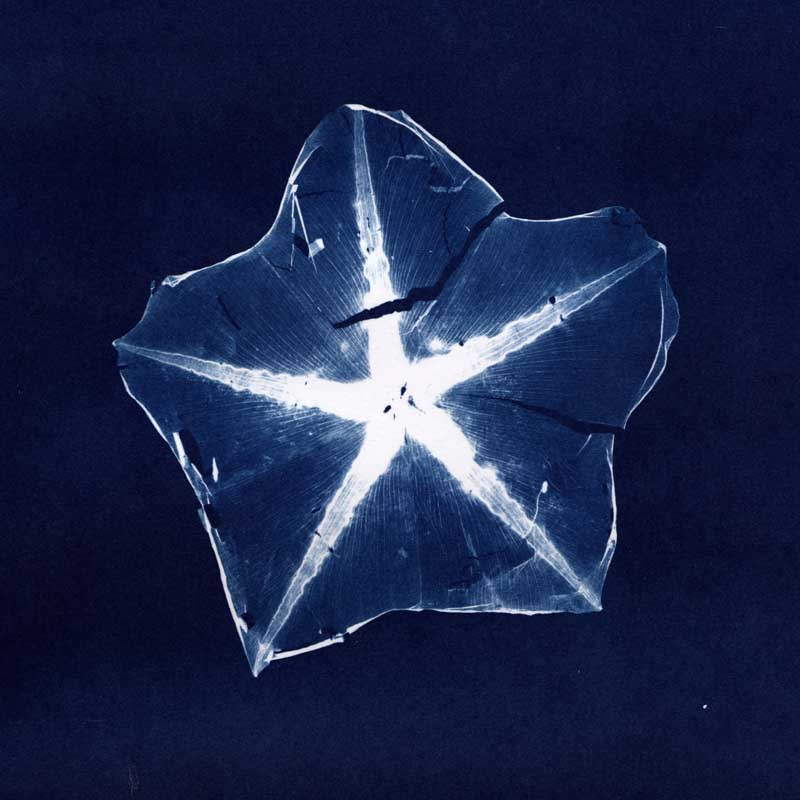 Moonflower No. 2.  Cyanotype Print from the Series, In My Courtyard.  ag_0000_3137 Color Rights Managed Image Copyright © 2010 Ann Giordano All Rights Reserved