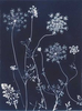 Queen Anne's Lace from the series In My Courtyard.  Unique Cyanotype from the Series, In My Courtyard.  ag_0000_3406. Color Rights Managed Image Copyright © 2012 Ann Giordano All Rights Reserved