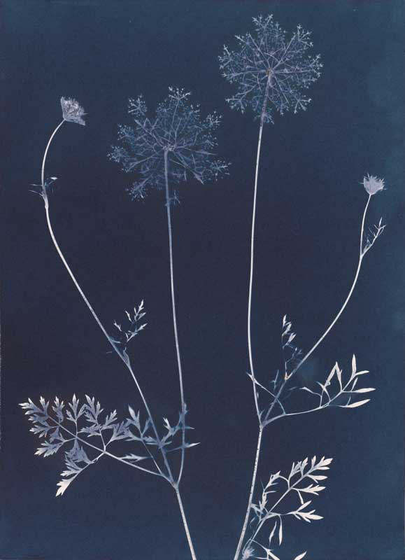 Queen Anne's Lace.  Unique Cyanotype Print from the Series, In My Courtyard.  ag_0000_3407 Color Rights Managed Image Copyright © 2012 Ann Giordano All Rights Reserved