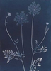 Queen Anne's Lace from the series In My Courtyard.  Unique Cyanotype from the Series, In My Courtyard.  ag_0000_3407. Color Rights Managed Image Copyright © 2012 Ann Giordano All Rights Reserved