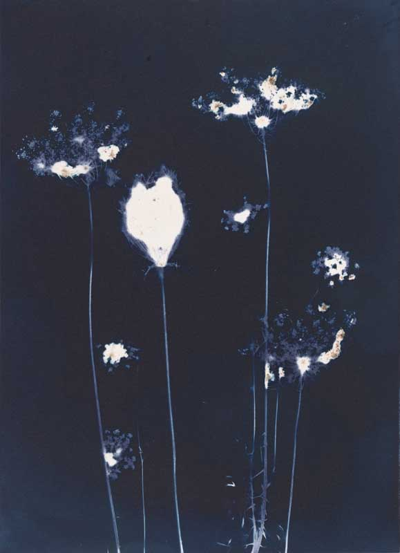 Queen Anne's Lace.  Unique Cyanotype Print from the Series, In My Courtyard.  ag_0000_3412 Color Rights Managed Image Copyright © 2012 Ann Giordano All Rights Reserved