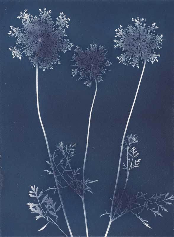 Queen Anne's Lace.  Unique Cyanotype Print from the Series, In My Courtyard.  ag_0000_3417 Color Rights Managed Image Copyright © 2012 Ann Giordano All Rights Reserved