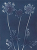 Queen Anne's Lace from the series In My Courtyard.  Unique Cyanotype from the Series, In My Courtyard.  ag_0000_3417. Color Rights Managed Image Copyright © 2012 Ann Giordano All Rights Reserved
