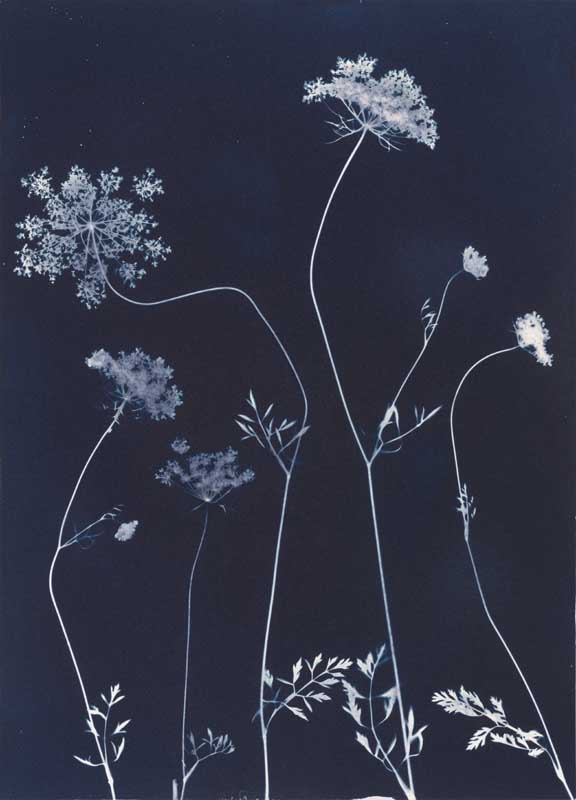 Queen Anne's Lace from the series In My Courtyard.  Unique Cyanotype from the Series, In My Courtyard.  ag_0000_3420. Color Rights Managed Image Copyright © 2012 Ann Giordano All Rights Reserved