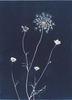 Queen Anne's Lace from the series In My Courtyard.  Unique Cyanotype from the Series, In My Courtyard.  ag_0000_3422. Color Rights Managed Image Copyright © 2012 Ann Giordano All Rights Reserved