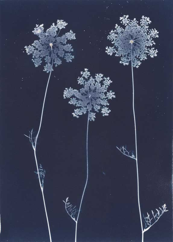 Queen Anne's Lace.  Unique Cyanotype Print from the Series, In My Courtyard.  ag_0000_3423 Color Rights Managed Image Copyright © 2012 Ann Giordano All Rights Reserved