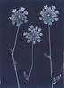 Queen Anne's Lace from the series In My Courtyard.  Unique Cyanotype from the Series, In My Courtyard.  ag_0000_3423. Color Rights Managed Image Copyright © 2012 Ann Giordano All Rights Reserved