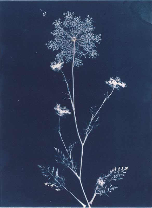 Queen Anne's Lace from the series In My Courtyard.  Unique Cyanotype from the Series, In My Courtyard.  ag_0000_3424. Color Rights Managed Image Copyright © 2012 Ann Giordano All Rights Reserved