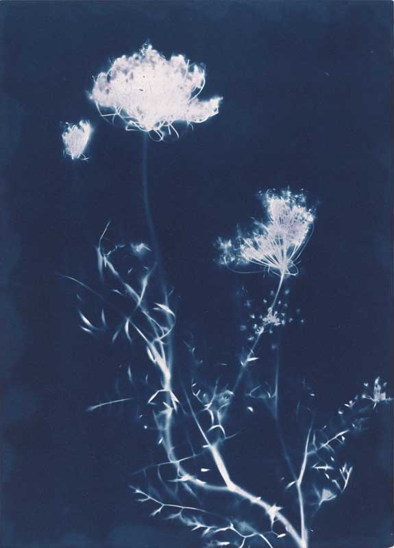 Queen Anne's Lace.  Unique Cyanotype Print from the Series, In My Courtyard.  ag_0000_3426 Color Rights Managed Image Copyright © 2012 Ann Giordano All Rights Reserved