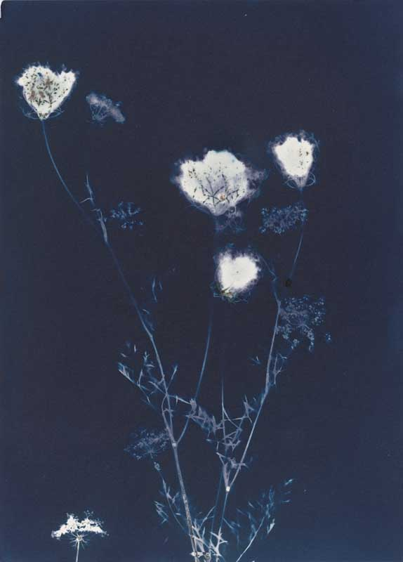 Queen Anne's Lace.  Unique Cyanotype Print from the Series, In My Courtyard.  ag_0000_3436 Color Rights Managed Image Copyright © 2012 Ann Giordano All Rights Reserved