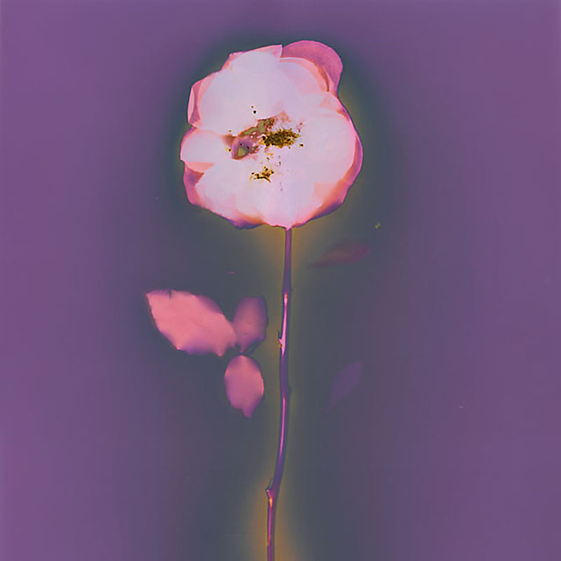 Rose.  Lumen Print from the Series, In My Courtyard.  ag_0000_3521 Color Rights Managed Image Copyright © 2014 Ann Giordano All Rights Reserved