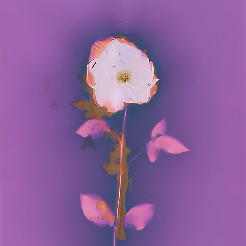 Rose.  Lumen Print from the Series, In My Courtyard.  ag_0000_3523  Color Rights Managed Image Copyright © 2014 Ann Giordano All Rights Reserved