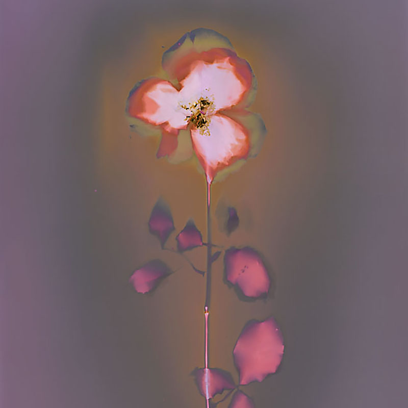 Rose.  Lumen Print from the Series, In My Courtyard.  ag_0000_3524  Color Rights Managed Image Copyright © 2014 Ann Giordano All Rights Reserved