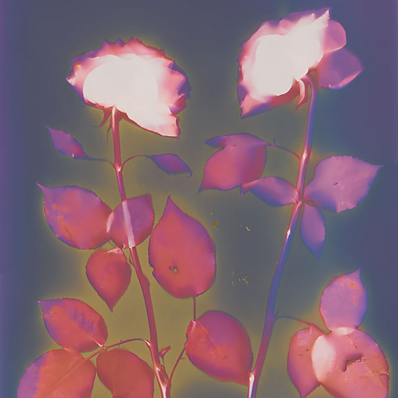 Two Roses.  Lumen Print from the Series, In My Courtyard.  ag_0000_3525  Color Rights Managed Image Copyright © 2014 Ann Giordano All Rights Reserved