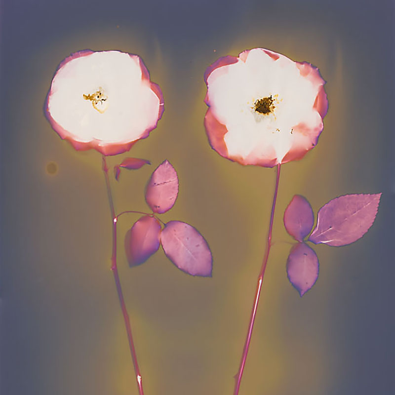 Two Roses.  Lumen Print from the Series, In My Courtyard.  ag_0000_3529  Color Rights Managed Image Copyright © 2014 Ann Giordano All Rights Reserved