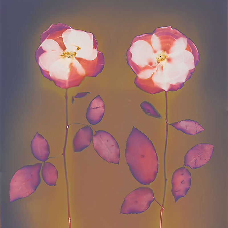 Two Roses.  Lumen Print from the Series, In My Courtyard.  ag_0000_3530  Color Rights Managed Image Copyright © 2014 Ann Giordano All Rights Reserved