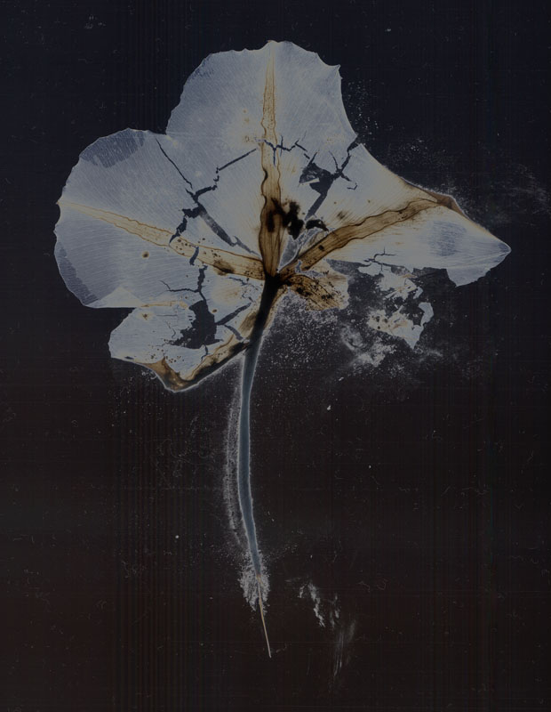 Moonflower No. 15  Photogram from the Series, In My Courtyard.  ag_0000_3611 Color Rights Managed Image Copyright © 2009 Ann Giordano All Rights Reserved