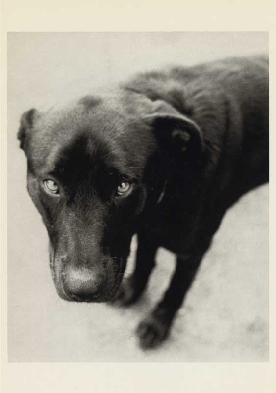 Fotofolio Postcard.  Bark No. 7 Integrity, from the series, BARK.  Close up of Labrador Retriever.  ag_0000_1007 BW Rights Managed Image Copyright © 1991 Ann Giordano All Rights Reserved.  For reproduction rights and license fees, please contact licensing at anngiordano.com