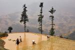 Farmers harvest rice on a mountainside in Sapa, Vietnam.