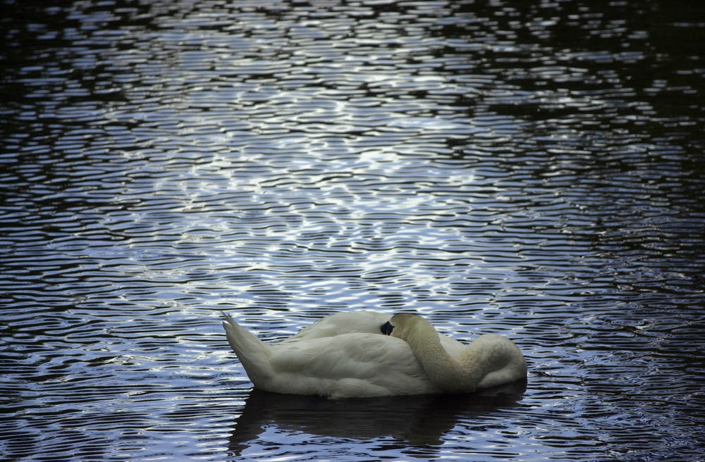 Swan takes a rest on the Delaware River in Lambertville on Friday.
