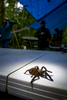 A tarantula finds its way into the camp in the Mosquitia that housed the exploring scientists.