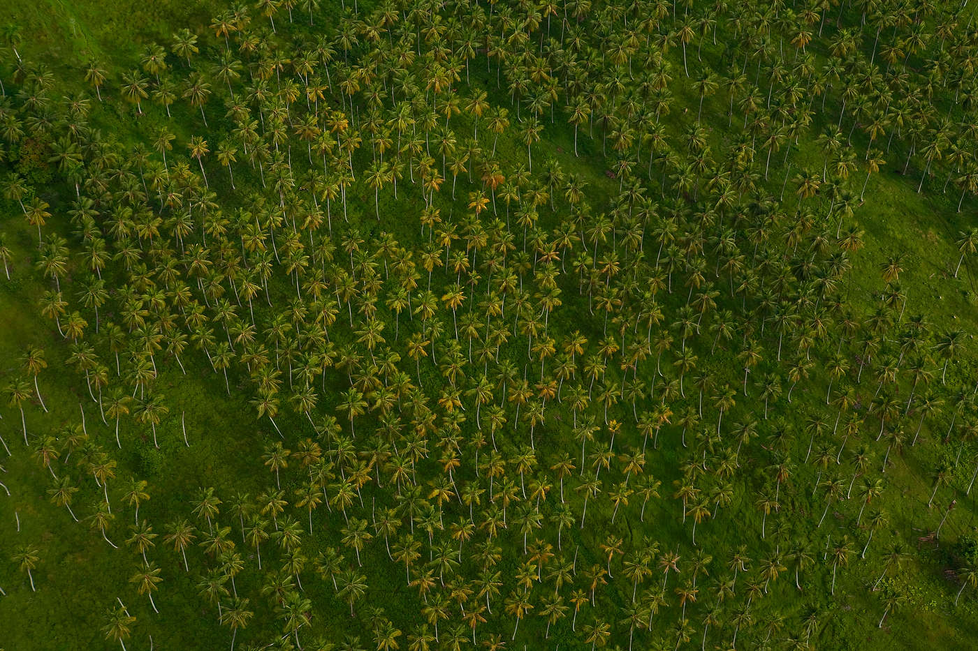 Palm tree plantation, Dominican Republic, for National Geographic Books.