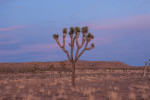 Joshua tree, Hidden Valley, Joshua Tree National Park.