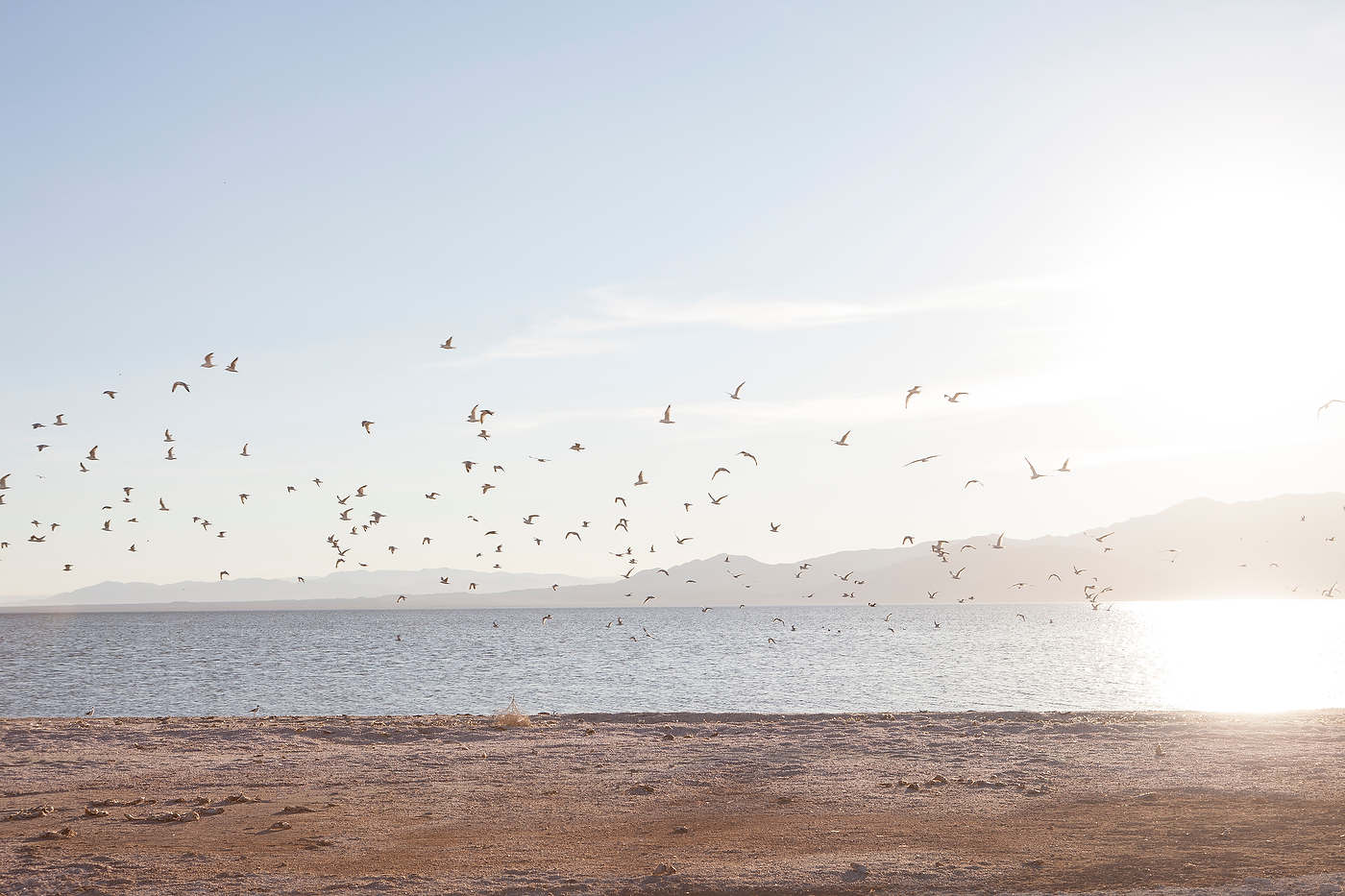 Egrets take flight at the Salton Sea.