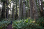 Lady Bird Johnson Grove, Redwood National Park.