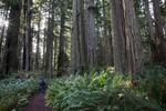 Redwood National Park.