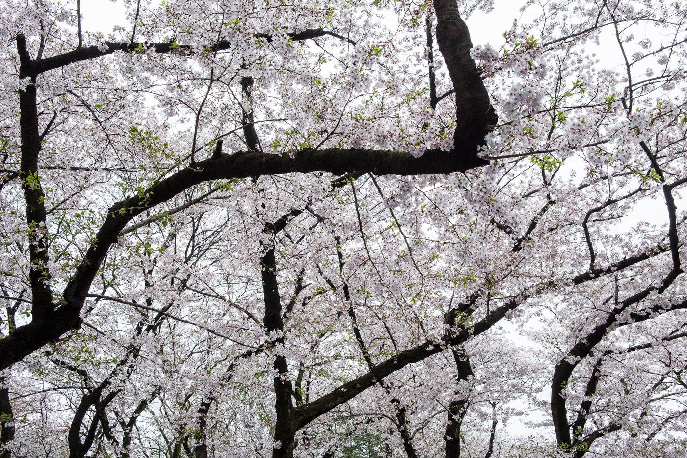 Cherry blossom, Yanaka.