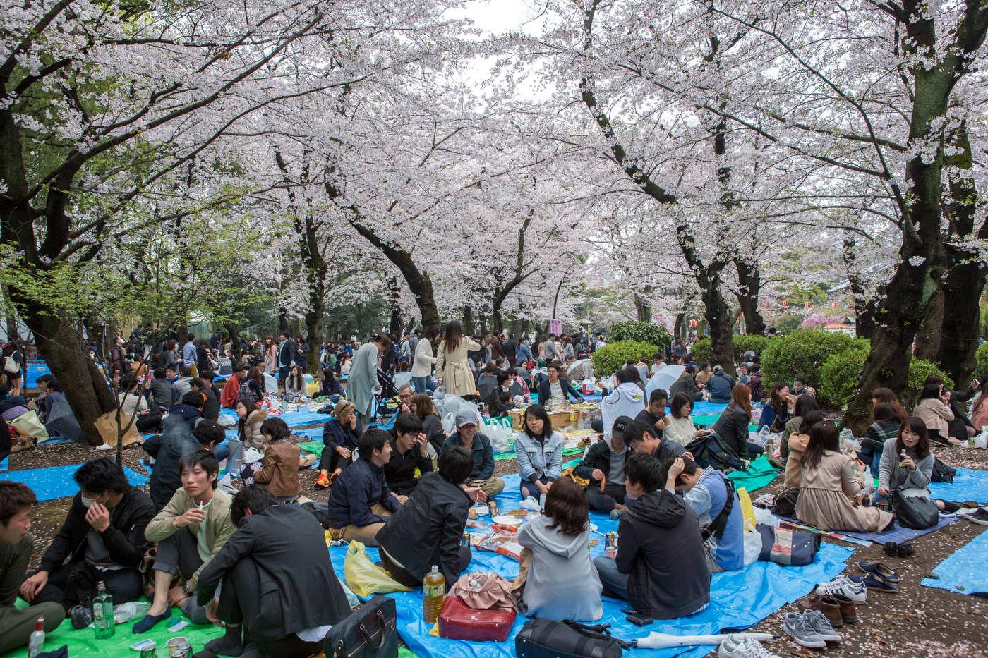 Cherry blossom in Ueno Park.