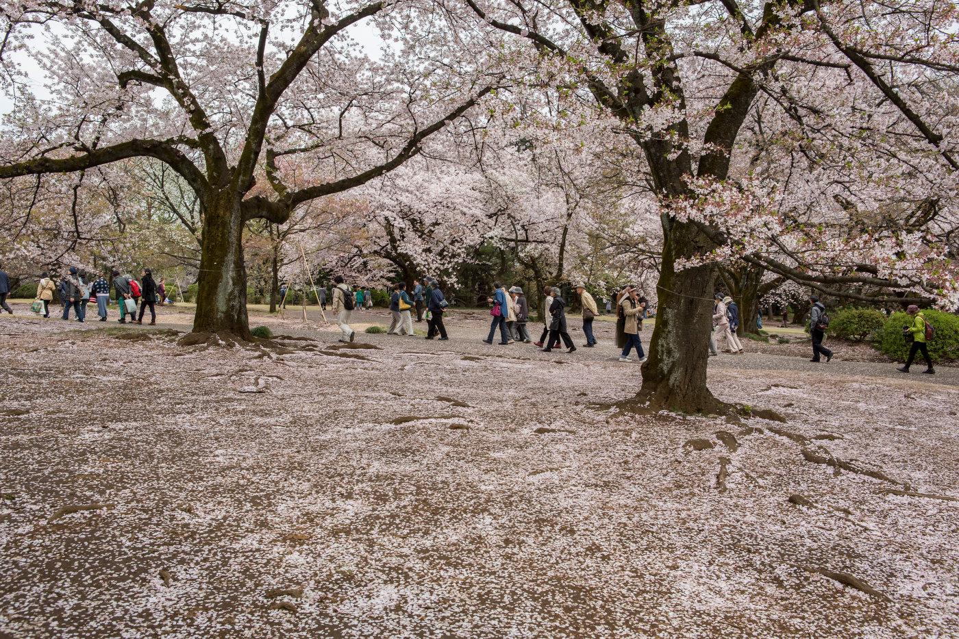 Cherry blosssom in Shinjuku Gyoen park.