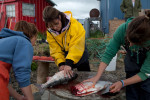 Palin guts salmon in Ekok, an Eskimo summer fishing village.