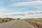 Guanaco on the road to El Calafate, Argentina.