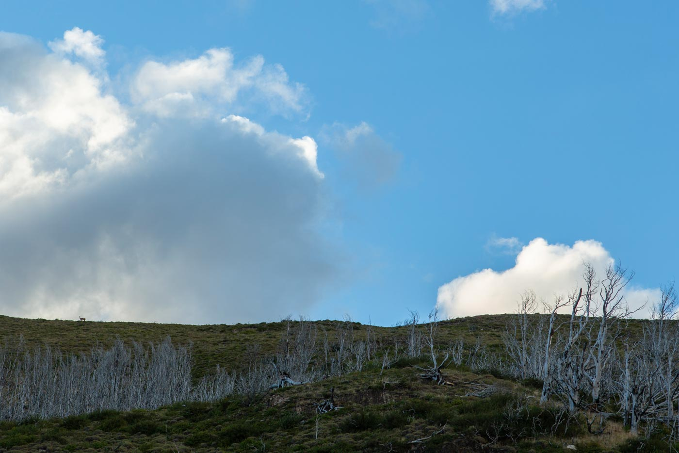 Lone guanaco, Torres del Paine, Chile.