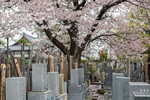 YANAKA, TOKYO, JAPAN -APRIL 2017: One of the best, and quietest, place to see the cherry blossom away from the crowds in Tokyo is Yanaka, home to a large cemetery, and one of the few districts in Tokyo where the shitamachi atmosphere, an old town ambience reminiscent of Tokyo from past decades, still survives. Throughout the district, there is an air of nostalgia and a rustic charm. A walking distance from Hamami crazy Ueno Park, Yanaka, offers a sightseeing opportunity different from the metropolitan city feel of other parts of Tokyo (photo Gilles Mingasson).