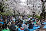 UENO PARK, TOKYO, JAPAN -APRIL 2017: Crowds enjoy the cherry blossom in Ueno Park, one of Japan's first public park and its most popular city park, with ten million visitors a year, during Hanami. Hanami, or {quote}flower viewing{quote}, is the Japanese traditional custom of enjoying the transient beauty of flowers; flowers ({quote}hana{quote}) are in this case almost always referring to those of the cherry ({quote}sakura{quote}) or, less frequently, plum ({quote}ume{quote}) trees. From the end of March to early May, cherry trees bloom all over Japan. The blossom forecast (sakura-zensen) {quote}cherry blossom front{quote} is announced each year by the weather bureau, and is watched carefully by those planning hanami as the blossoms only last a week or two. In modern-day Japan, hanami mostly consists of having an outdoor party beneath the sakura during daytime or at night. Hanami at night is called yozakura {quote}night sakura{quote}. In many places, temporary paper lanterns are hung for the purpose of yozakura  (photo Gilles Mingasson).