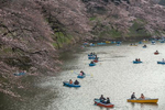 CHIYODA WARD, CENTRAL TOKYO, JAPAN -APRIL 2017: People in rented boats enjoy a close view of the cherry blossom on Tokyo Imperial Palace's moat during Hanami. Hanami, or {quote}flower viewing{quote}, is the Japanese traditional custom of enjoying the transient beauty of flowers; flowers ({quote}hana{quote}) are in this case almost always referring to those of the cherry ({quote}sakura{quote}) or, less frequently, plum ({quote}ume{quote}) trees. From the end of March to early May, cherry trees bloom all over Japan. The blossom forecast (sakura-zensen) {quote}cherry blossom front{quote} is announced each year by the weather bureau, and is watched carefully by those planning hanami as the blossoms only last a week or two. In modern-day Japan, hanami mostly consists of having an outdoor party beneath the sakura during daytime or at night. Hanami at night is called yozakura {quote}night sakura{quote}. In many places, temporary paper lanterns are hung for the purpose of yozakura (photo Gilles Mingasson).