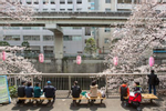 TOKYO, JAPAN -APRIL 2017: Locals picnic under the cherry tree blosssom in the small Shin Edogawa neighborhood park near the Kandagawa River Shinjuku-ku during Hanami. Hanami, or {quote}flower viewing{quote}, is the Japanese traditional custom of enjoying the transient beauty of flowers; flowers ({quote}hana{quote}) are in this case almost always referring to those of the cherry ({quote}sakura{quote}) or, less frequently, plum ({quote}ume{quote}) trees. From the end of March to early May, cherry trees bloom all over Japan. The blossom forecast (sakura-zensen) {quote}cherry blossom front{quote} is announced each year by the weather bureau, and is watched carefully by those planning hanami as the blossoms only last a week or two. In modern-day Japan, hanami mostly consists of having an outdoor party beneath the sakura during daytime or at night. Hanami at night is called yozakura {quote}night sakura{quote}. In many places, temporary paper lanterns are hung for the purpose of yozakura  (photo Gilles Mingasson).