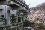 TOKYO, JAPAN -APRIL 2017: Cherry trees blosssom across an elevated highway above the Kandagawa River in the Shinjuku-ku neighborhood during Hanami. Hanami, or {quote}flower viewing{quote}, is the Japanese traditional custom of enjoying the transient beauty of flowers; flowers ({quote}hana{quote}) are in this case almost always referring to those of the cherry ({quote}sakura{quote}) or, less frequently, plum ({quote}ume{quote}) trees. From the end of March to early May, cherry trees bloom all over Japan. The blossom forecast (sakura-zensen) {quote}cherry blossom front{quote} is announced each year by the weather bureau, and is watched carefully by those planning hanami as the blossoms only last a week or two. In modern-day Japan, hanami mostly consists of having an outdoor party beneath the sakura during daytime or at night. Hanami at night is called yozakura {quote}night sakura{quote}. In many places, temporary paper lanterns are hung for the purpose of yozakura  (photo Gilles Mingasson).